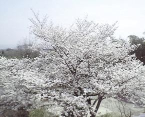 2008 sakura.jpg