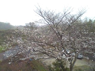 sakura&snow.JPG