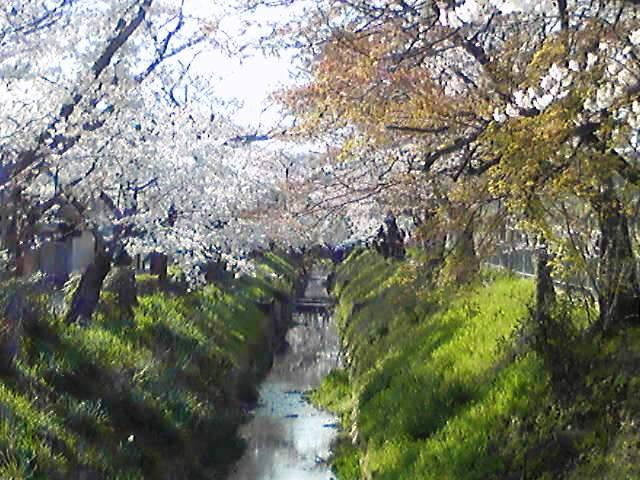 sakura2009.4.5.jpg